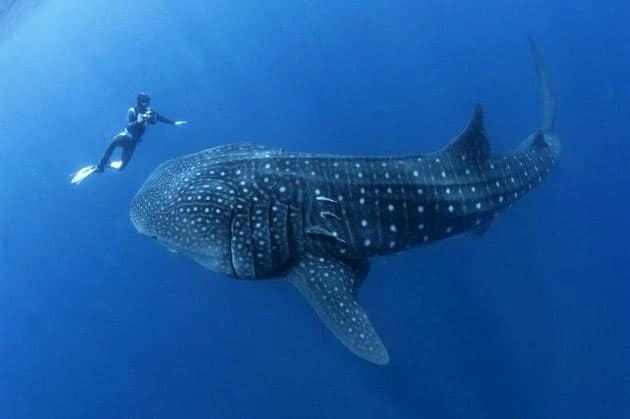 BZ-whale-shark